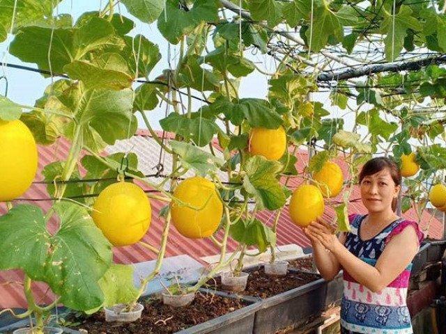 Mê tít vườn dưa lưới của mẹ đảm Hà Nội, chỉ 30m2 sân thượng mà mỗi năm thu 3 tạ