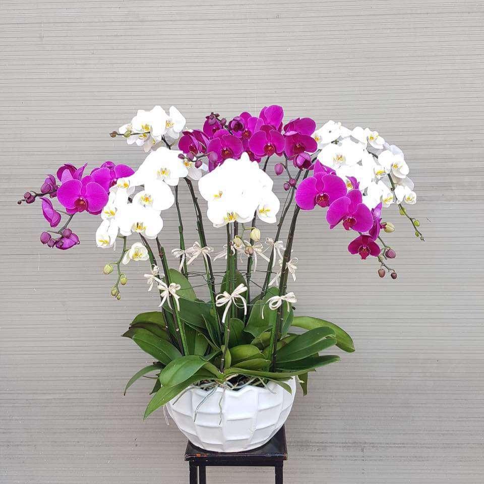 Kỹ thuật chăm sóc lan hồ điệp, cây tươi tốt, ra hoa đều đều - 3