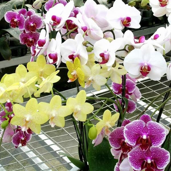 Kỹ thuật chăm sóc lan hồ điệp, cây tươi tốt, ra hoa đều đều - 5