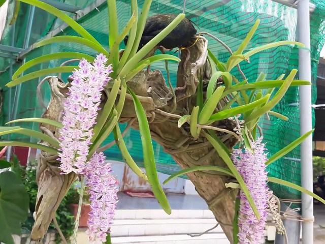 Cách trồng lan đuôi chồn trong nhà, đơn giản mà hiệu quả bất ngờ