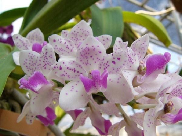 Cách trồng và chăm sóc lan ngọc điểm, vài tháng sau hoa nở trắng vườn - 5