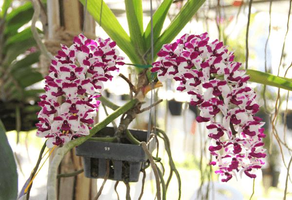 Cách trồng và chăm sóc lan ngọc điểm, vài tháng sau hoa nở trắng vườn - 3