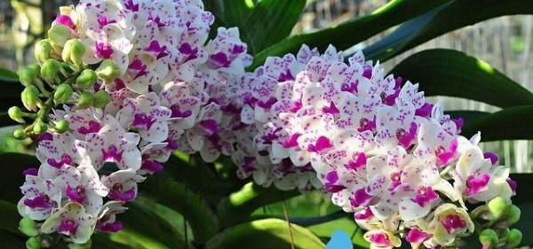 Cách trồng và chăm sóc lan ngọc điểm, vài tháng sau hoa nở trắng vườn - 1