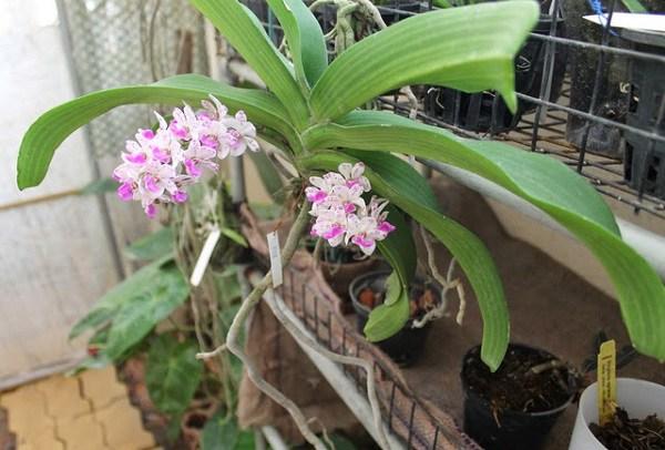 Cách trồng và chăm sóc lan ngọc điểm, vài tháng sau hoa nở trắng vườn - 6