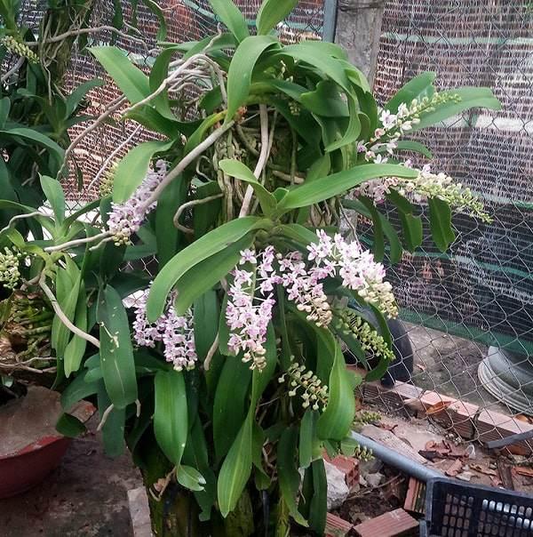 Cách trồng và chăm sóc lan ngọc điểm, vài tháng sau hoa nở trắng vườn - 4