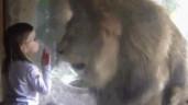 Được bé gái hôn gió, sư tử đực có phản ứng điên cuồng