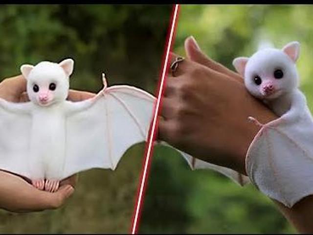 Lạ lùng loài dơi trắng đáng yêu nhất thế giới