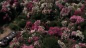 Choáng ngợp với những triền đồi hoa đỗ quyên rực rỡ