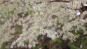 Hoa sưa nở trắng trời trên khuôn viên ĐHQG Hà Nội