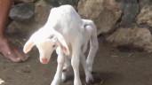 Dê trắng có 7 chân, đa giới tính xuất hiện ở Indonesia