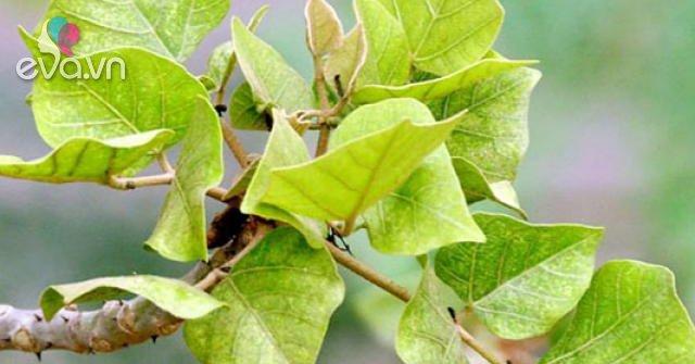 Lá vông có tác dụng gì? Một số bài thuốc và cách sử dụng lá vông