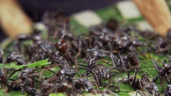 Hãi hùng với nghi lễ trưởng thành bằng cách để cả đàn kiến đạn đốt tay