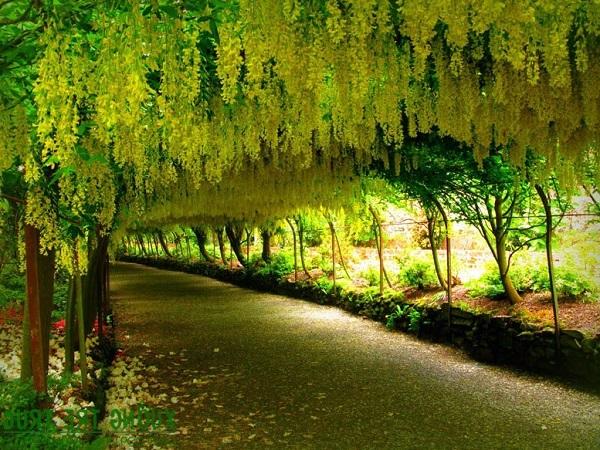 Hoa Bọ Cạp vàng: Đặc điểm, nguồn gốc, ý nghĩa và cách trồng - 4