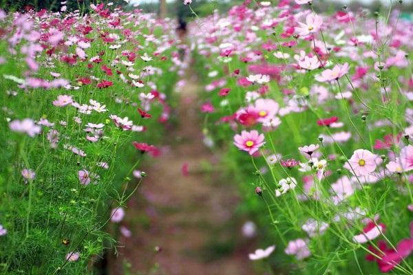 Ý nghĩa hoa Cánh Bướm, đặc điểm và cách trồng hoa cánh bướm nở đẹp - 1