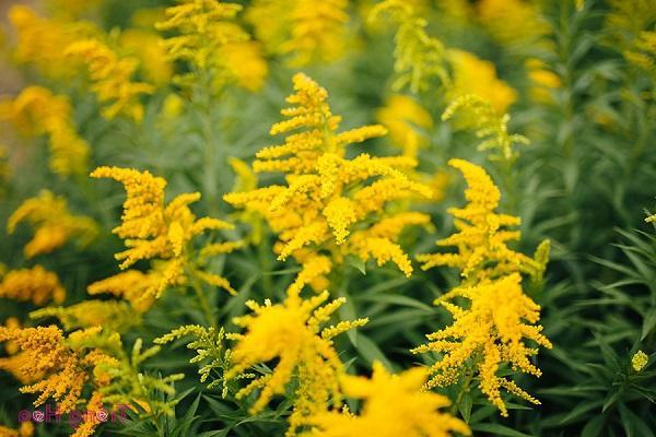 Hoa Hoàng Anh: Đặc điểm, ý nghĩa và cách trồng loài hoa Cúc tuyệt đẹp - 1