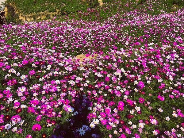 Ý nghĩa hoa Cánh Bướm, đặc điểm và cách trồng hoa cánh bướm nở đẹp - 4