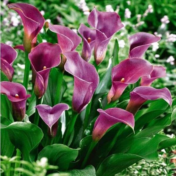 Hoa Rum - Đặc điểm, ý nghĩa, cách trồng và chăm sóc cây ra hoa đẹp - 1