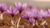 """Để làm được 1kg """"vàng đỏ"""" saffron phải tốn tới…150.000 bông hoa nghệ tây"""