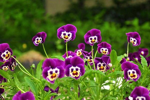 """12 loai hoa trong ban cong nay se khien nha ban """"noi nhat pho"""" - 4"""