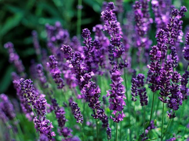 Ảnh cánh đồng hoa oải hương - Bộ sưu tập hình ảnh đẹp về cánh đồng hoa oải hương
