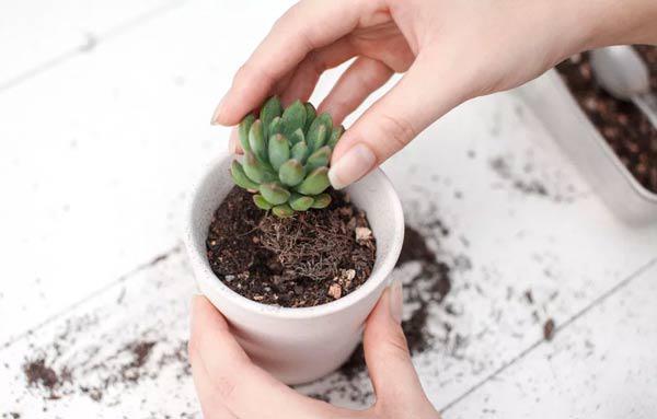 Cách trồng sen đá amp;#34;một được mườiamp;#34;: Mua một chậu lãi được nhiều cây - 4