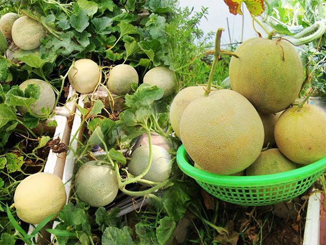 Chỉ 50m² sân thượng, mẹ Hà Nội trồng được hơn 1 tạ dưa lưới khiến nông dân cũng bái phục