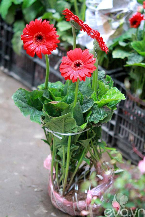 Cách trồng hoa đồng tiền đơn giản nhất cho hoa lên rực rỡ - 1