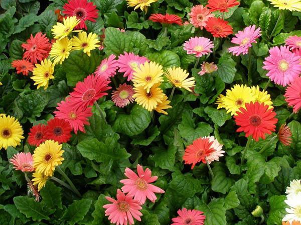 Cách trồng hoa đồng tiền đơn giản nhất cho hoa lên rực rỡ - 2