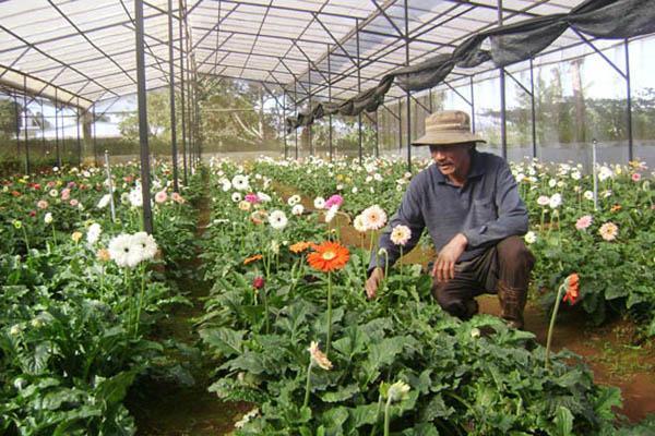 Cách trồng hoa đồng tiền đơn giản nhất cho hoa lên rực rỡ - 3