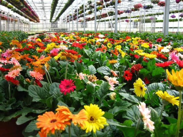 Cách trồng hoa đồng tiền đơn giản nhất cho hoa lên rực rỡ - 8