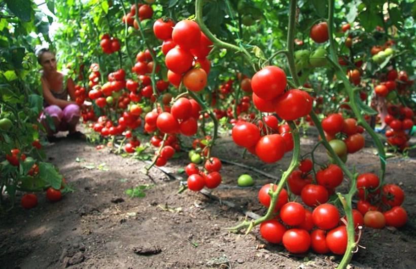 Từ A đến Z kỹ thuật trồng cà chua vừa đơn giản lại cho thu hoạch mỏi tay - 2