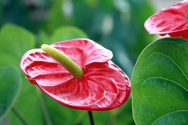 cach trong cay hong mon cho hoa ruc ro, mang may man thinh vuong cho gia chu - 2