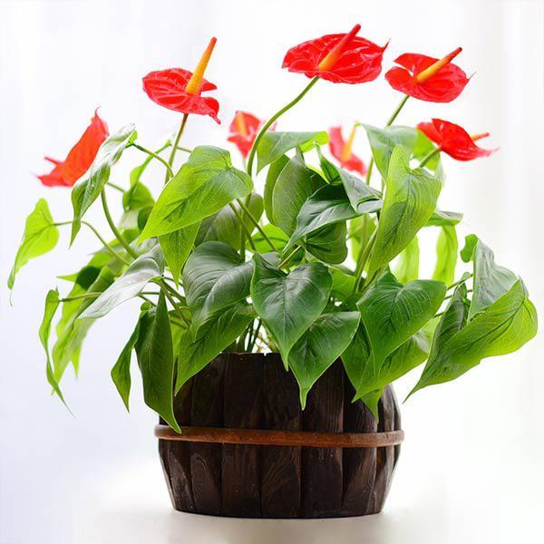 cach trong cay hong mon cho hoa ruc ro, mang may man thinh vuong cho gia chu - 7