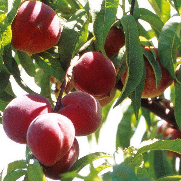 Loại quả ăn xong có thể bỏ hạt ra vườn, cuối năm hoa nở bung, đỡ tốn cả triệu - 7