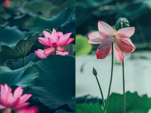 Chuyện lạ: Hoa sen trăm tuổi bỗng bừng nở khiến dân tình ngỡ ngàng vội tìm đến chụp ảnh