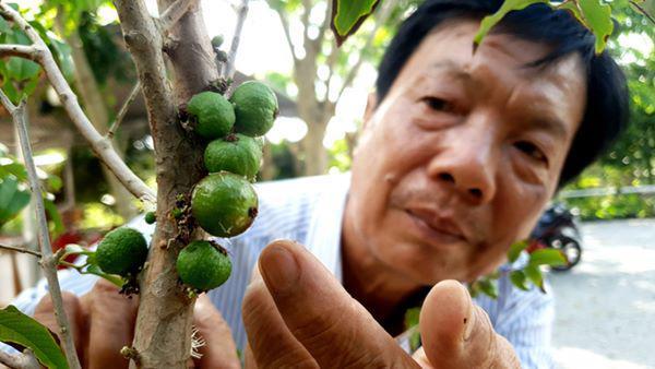 Xôn xao nho lạ Cần Thơ: Thân giống cây ổi, quả lại giống trái sung - 1