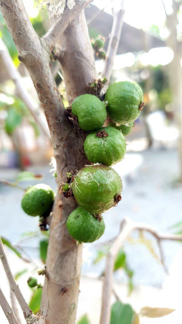 Xôn xao nho lạ Cần Thơ: Thân giống cây ổi, quả lại giống trái sung - 3