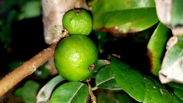 Xôn xao nho lạ Cần Thơ: Thân giống cây ổi, quả lại giống trái sung - 4