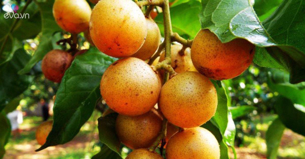 """Quất hồng bì: Ở Việt Nam chỉ là quả dại, sang Trung Quốc hóa """"trái cây vàng"""""""