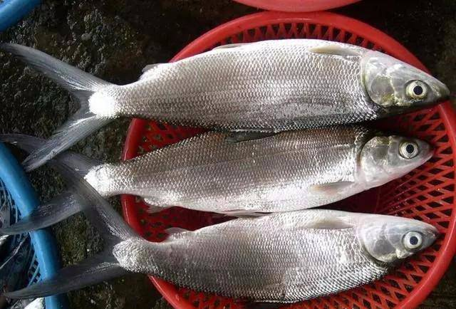 Bộ phận này của cá rất độc hại, tốt nhất không ai nên ăn kẻo rước bệnh