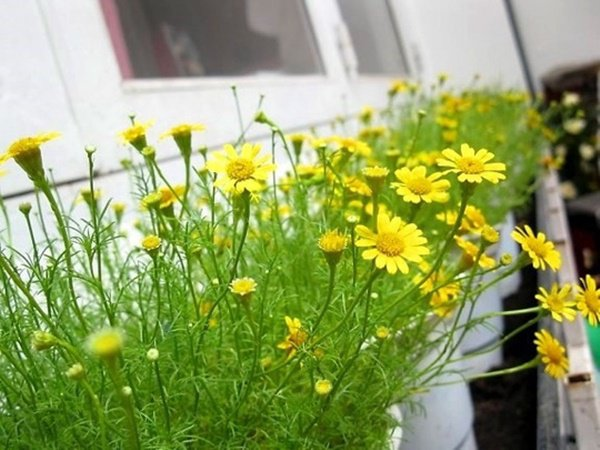 Trên ban công trồng những loại hoa này, nhà xinh như ở Đà Lạt, ai cũng mê - 5