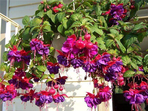 Trên ban công trồng những loại hoa này, nhà xinh như ở Đà Lạt, ai cũng mê - 7
