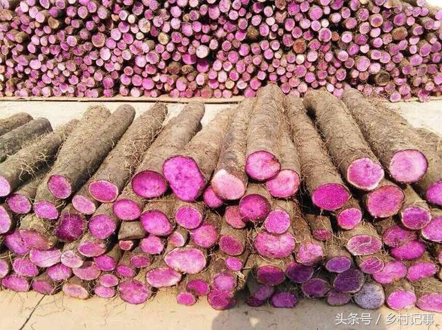 """Nông dân trồng """"rễ cây biến sắc"""", bán gần 40 nghìn nửa cân"""