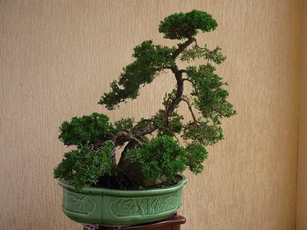 5 loại cây phong thủy nhà giàu không muốn trồng, đẹp mấy cũng không rước vào nhà - 3