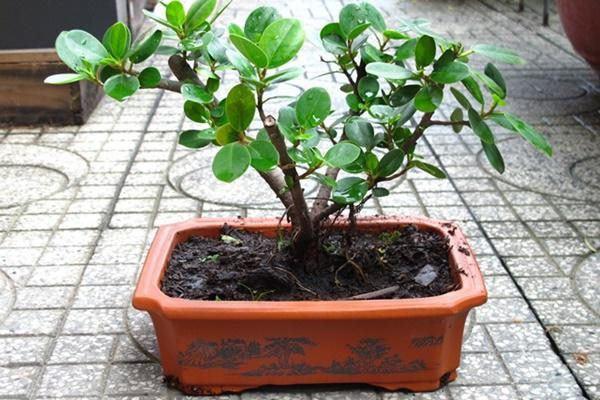 5 loại cây phong thủy nhà giàu không muốn trồng, đẹp mấy cũng không rước vào nhà - 4