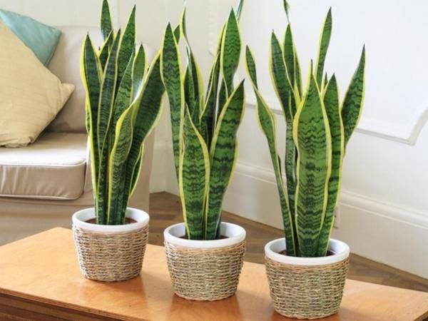 5 loại cây phong thủy nhà giàu không muốn trồng, đẹp mấy cũng không rước vào nhà - 5