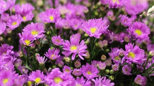 cach trong hoa thach thao tai nha, don gian van cho hoa tim ca vuon - 1