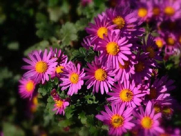cach trong hoa thach thao tai nha, don gian van cho hoa tim ca vuon - 4