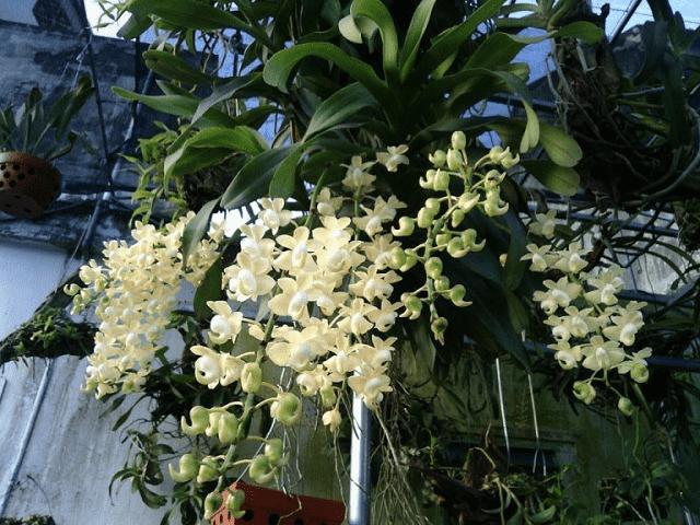 Cách trồng và chăm sóc lan giáng hương đúng chuẩn, cho hoa đều suốt cả năm