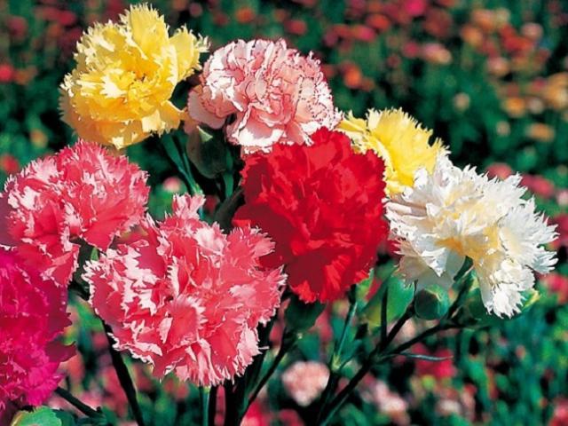Ý nghĩa hoa cẩm chướng, cách trồng và chăm sóc giúp hoa tươi tốt